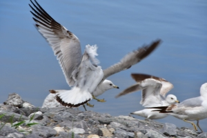 Seagulls in Wicasset